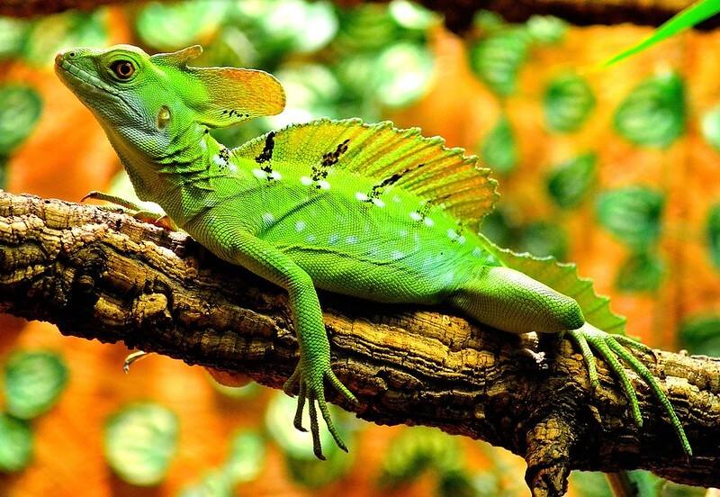 Basilisco – O lagarto-jesus-cristo