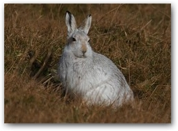 Mountain Hare  » Click to zoom ->