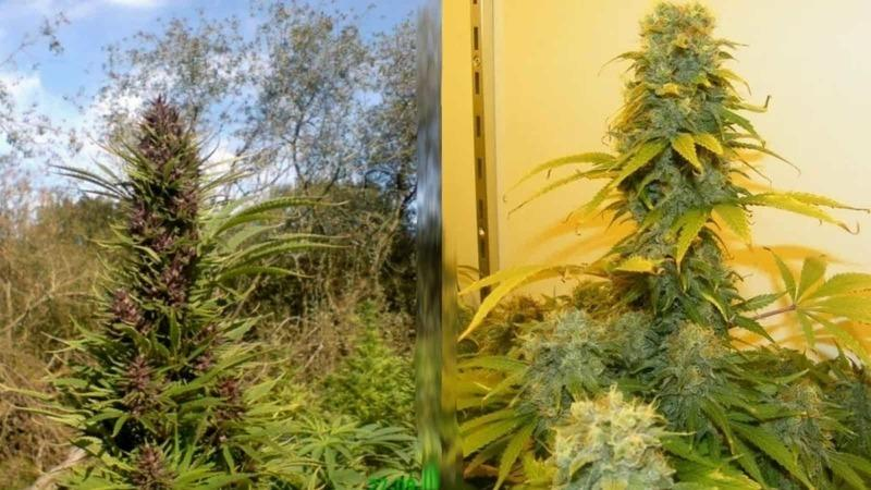 The Difference Between Growing Hydro and Bush Weed