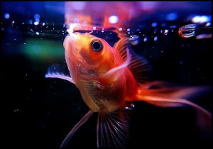 You Should be Know Several Problems for Feeding the Goldfish