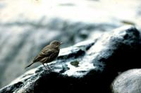 A Rock Pipit on the rocks