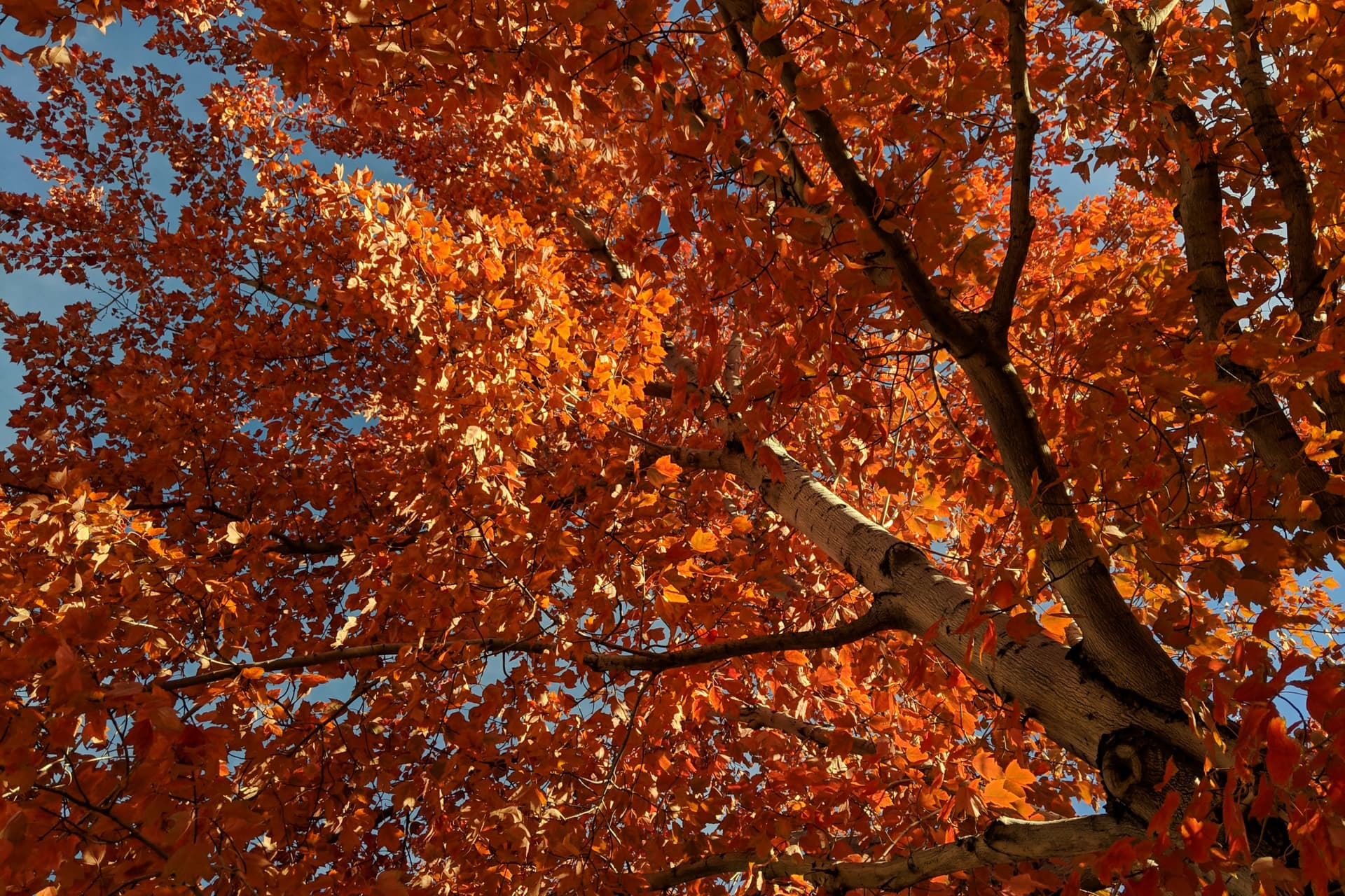A red-leafed fall tree, silhouetted against a clear blue sky.