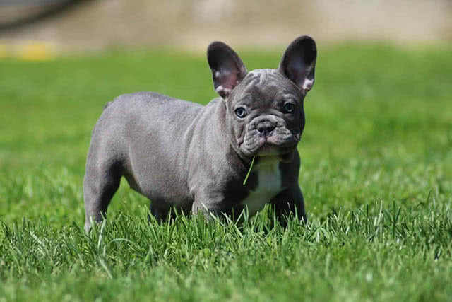 Image of a blue french bulldog puppy playing in grass
