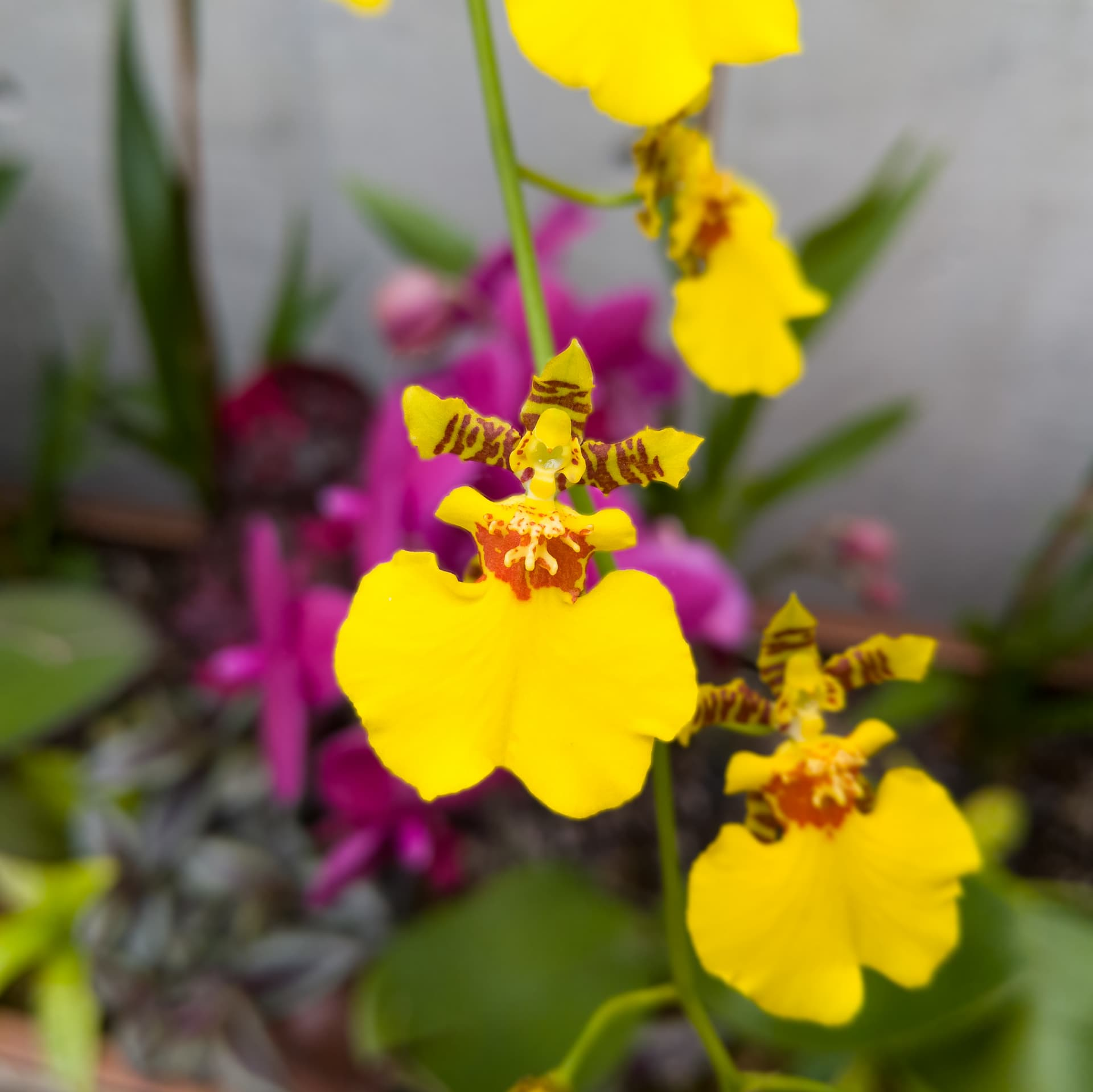 A stem of small yellow and purple orchid flowers. The shape of the flowers and their arrangement is reminiscent of a group of dancers.