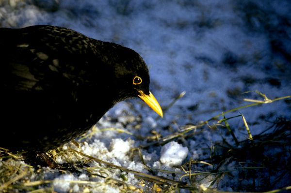 A Blackbird on a snowy day