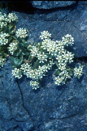 Common Scurvygrass growing in cracks between rocks