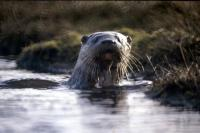 An Otterat Burraness, North Yell