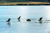 Long-tailed Ducks take flight