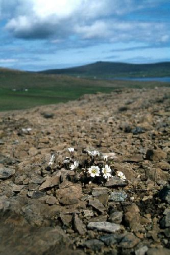 Shetland mouse-ear on the Keen of Hamar, Unst