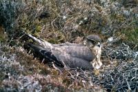 A Merlin nests amongst the heather