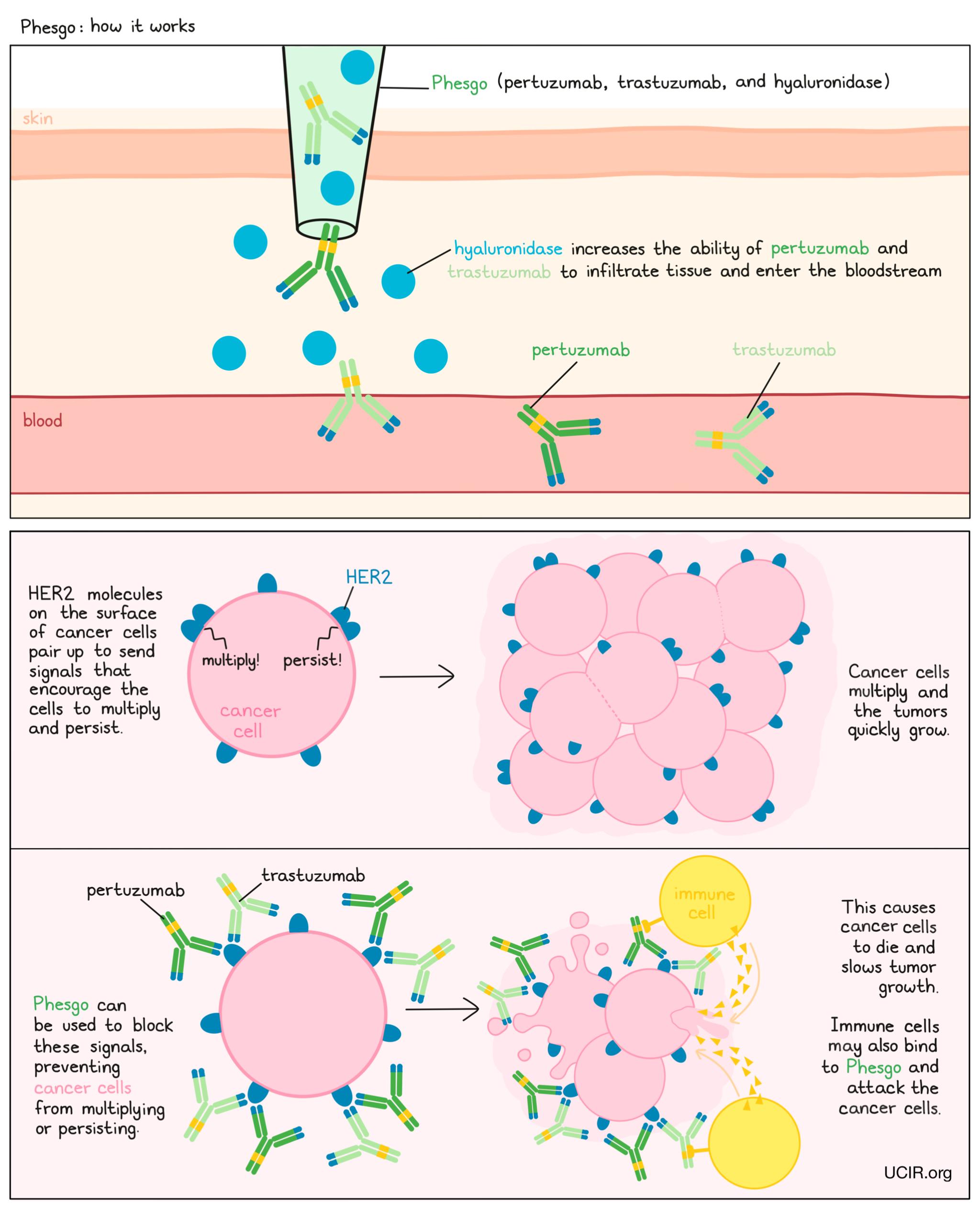 Illustration showing how Phesgo works
