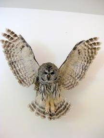 Cheri's Barred Owl