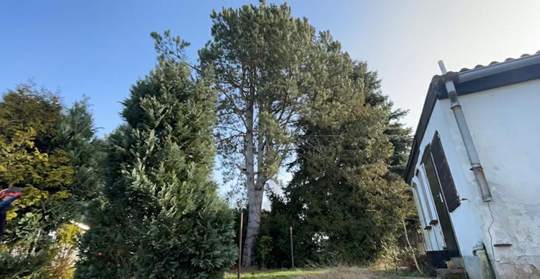 Baumfällung einer Schwarzkiefer in Leipzig