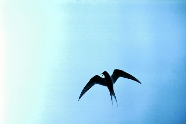 An Arctic Tern silhouetted against the sky