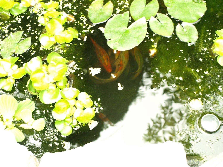 Shubunkin underwater