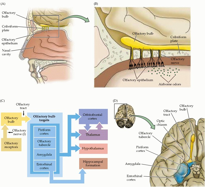 Olfactory System Diagram