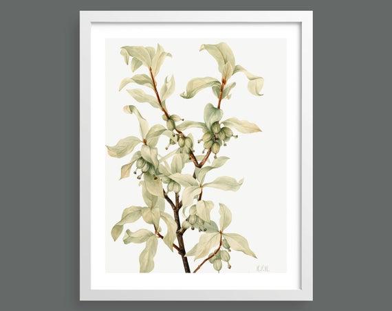 Silverberry (Elaeagnus Commutata) by Mary Vaux Walcott