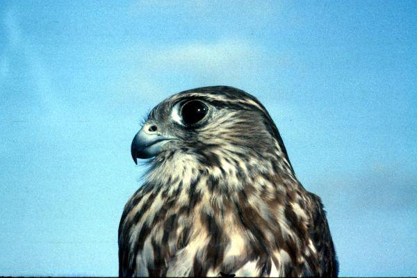 A close-up shot of a Merlin