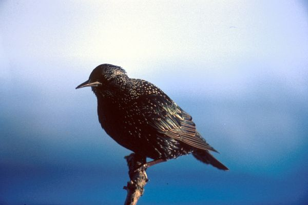 A Common Starling