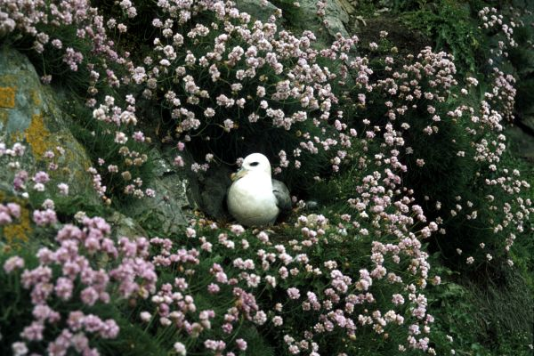 A Fulmar nesting on a cliff-face