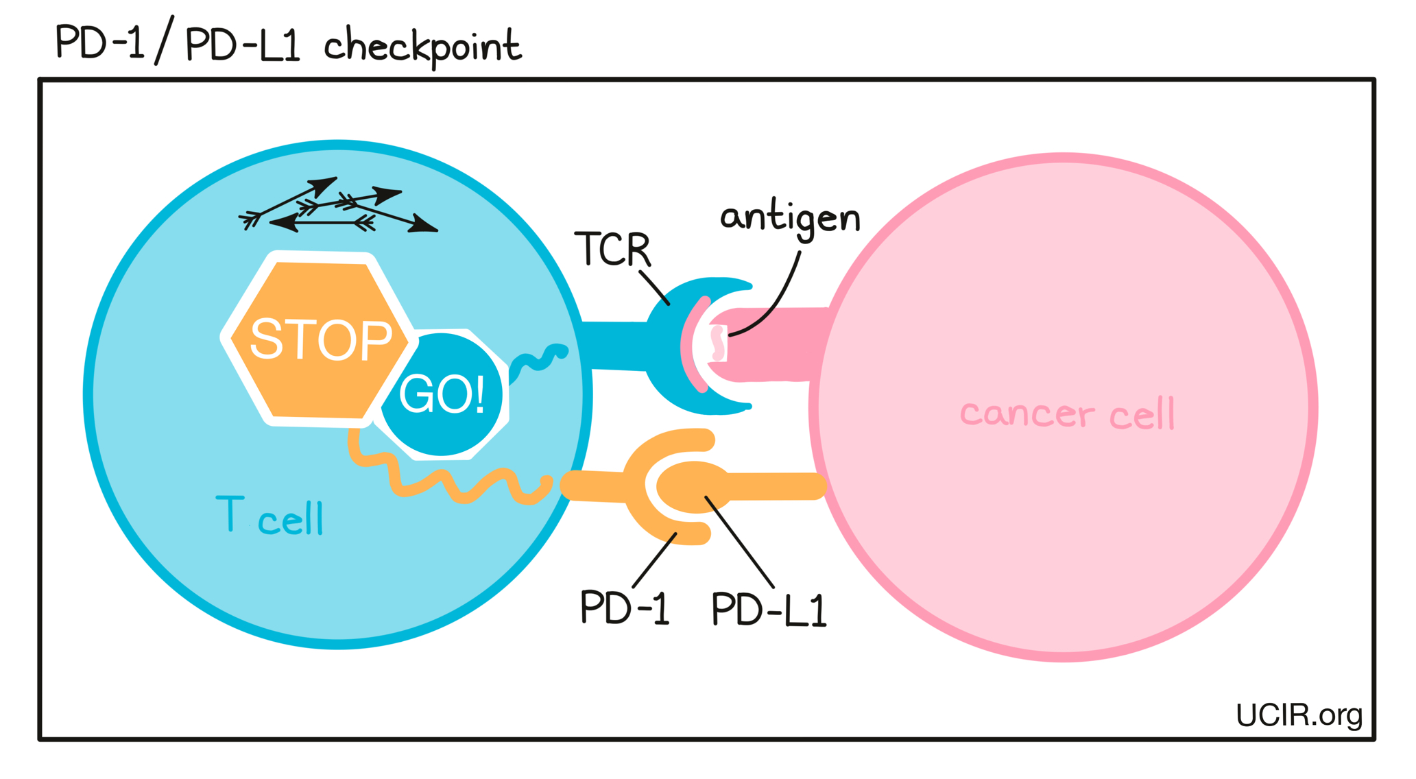 PD-1/PD-L1 checkpoint illustration