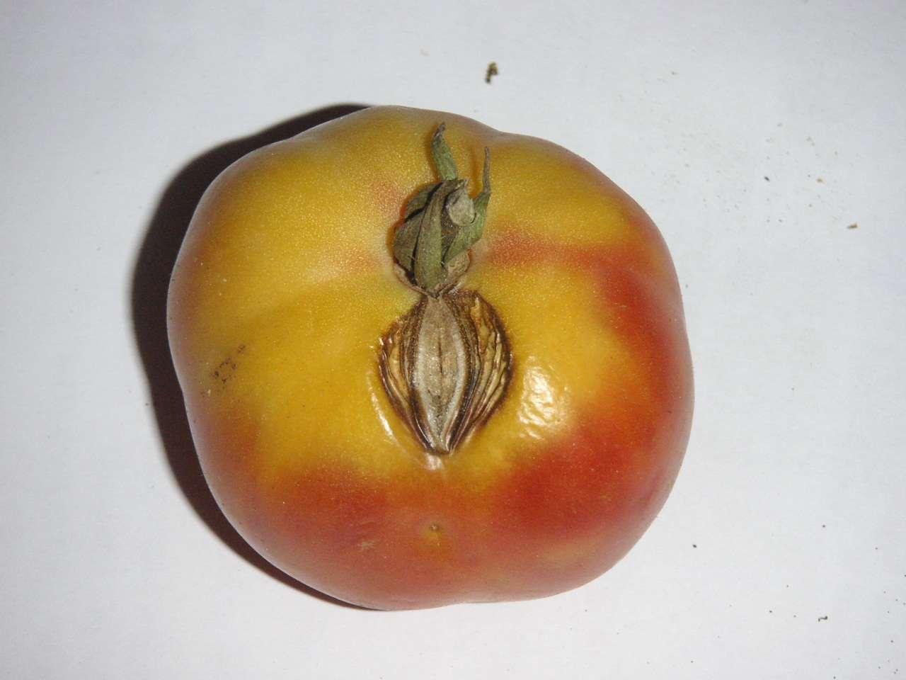 badat tomacons