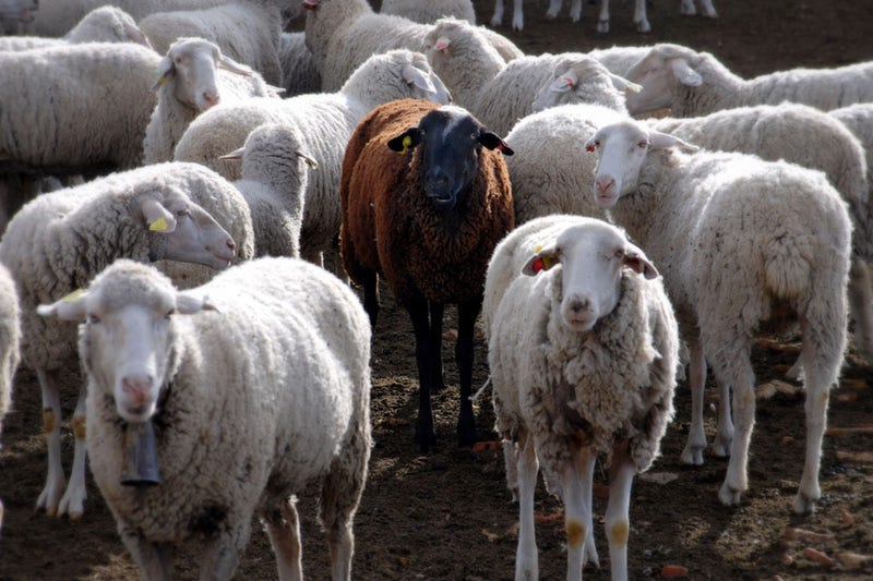 A single black sheep in a group of white sheep