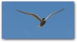 Arctic Tern  » Click to zoom ->
