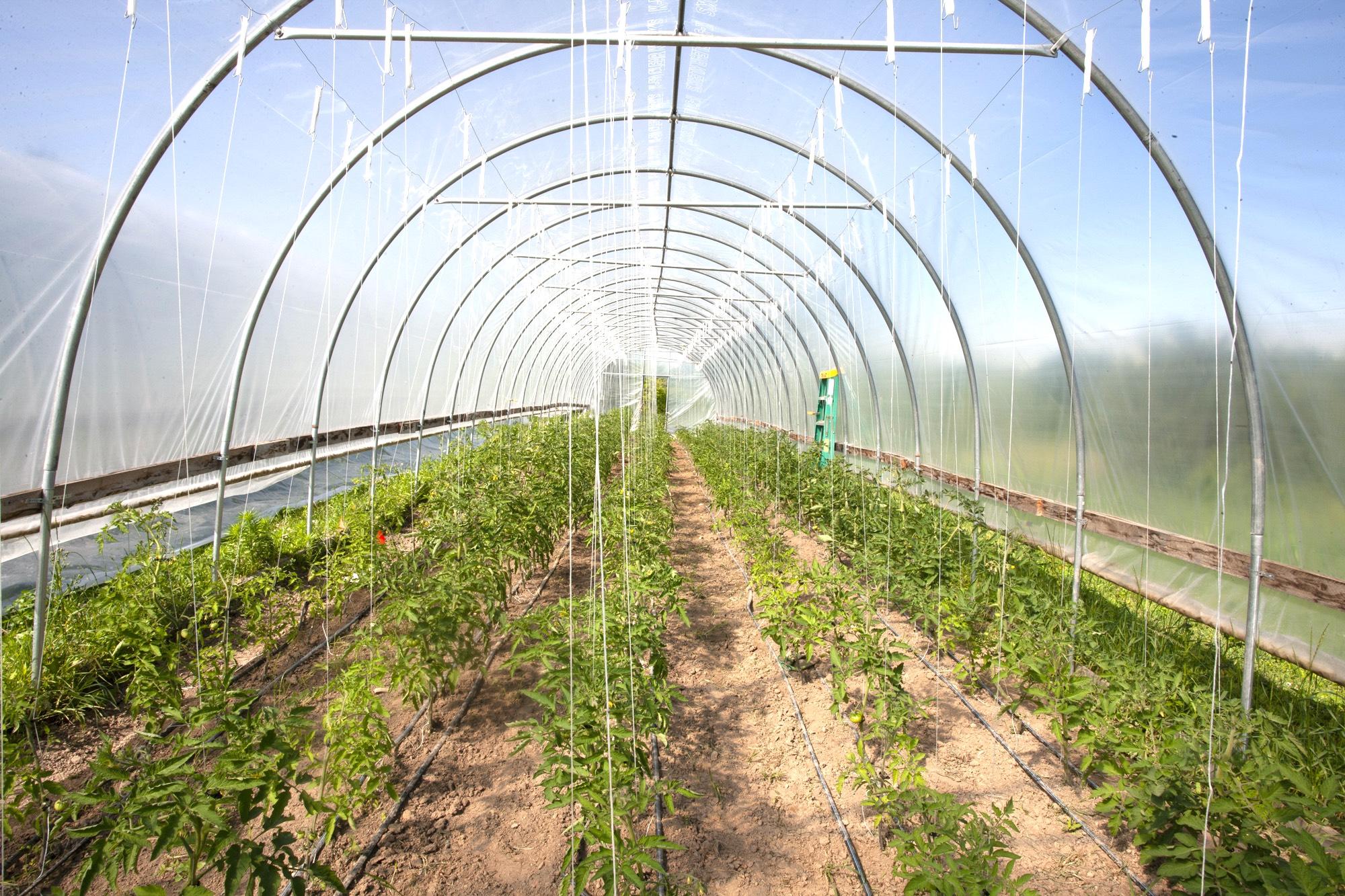 The tomato greenhouse at Avrom Farm.