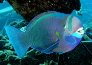 Parrot Fish to Common White Spot Disease and Treatment
