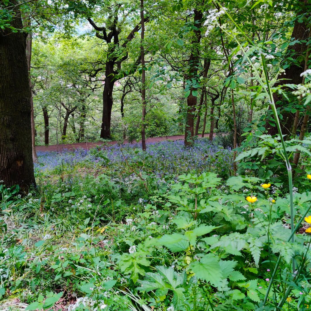 Meanwood Valley Local Nature Reserve bluebells at Woodhouse Ridge
