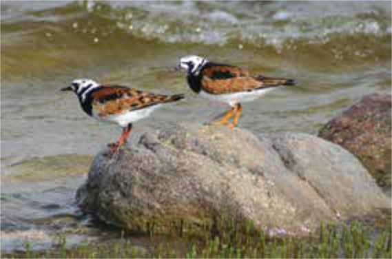 Ruddy turnstones stopping over on migration