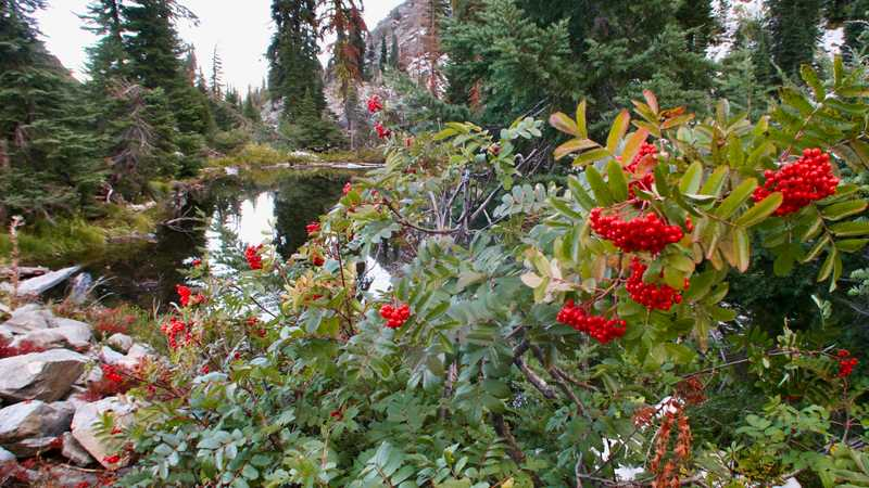 Cotoneaster shrubs at Marten Lake