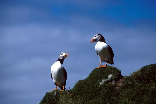 Two Puffins stand by the shore