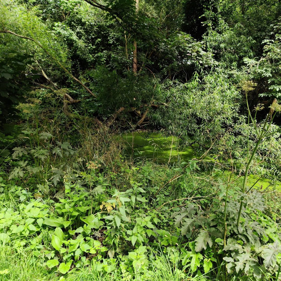 Grove Lane Pond undergrowth