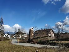 Bralec Janko nam pošilja fotografijo, kako se stara in mogočna lipa ni mogla upreti vetru na Bantalah pri Stražišču....