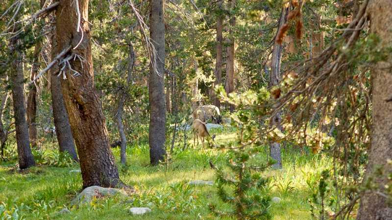 A grazing mule deer