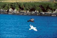 Great Skua & Glaucous Gull