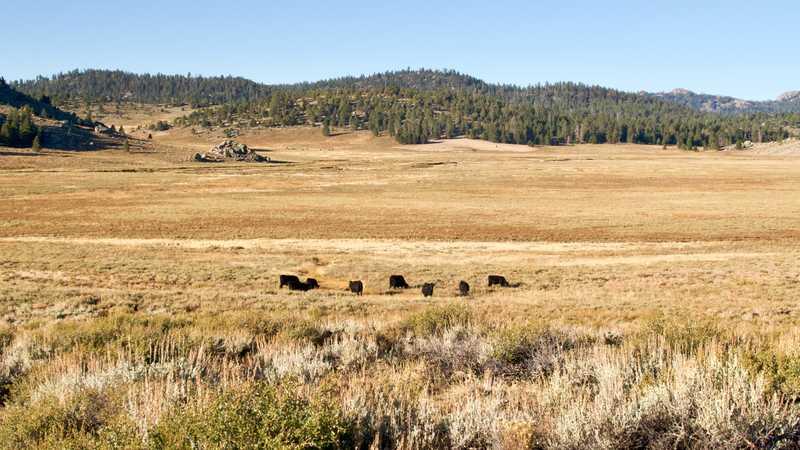 Grazing cattle in Monache Meadow