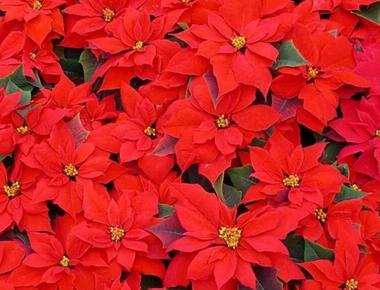 Curiozitati despre floarea Crăciunului sau Poinsetia, Euphorbia