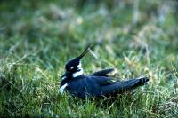 A Lapwing nests among the grass