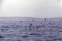 A flock of Shearwaters take flight