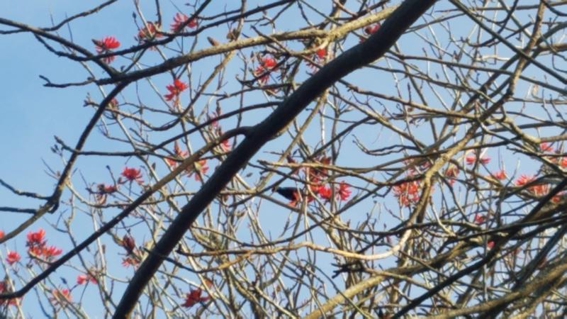 Non-native flame trees which the native Tui love