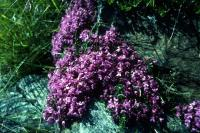 Wild thyme growing over the rocks.