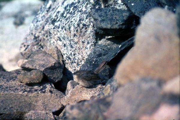 A Grasshopper Warbler rests on the rocks