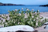 Sea Rocket on the beach