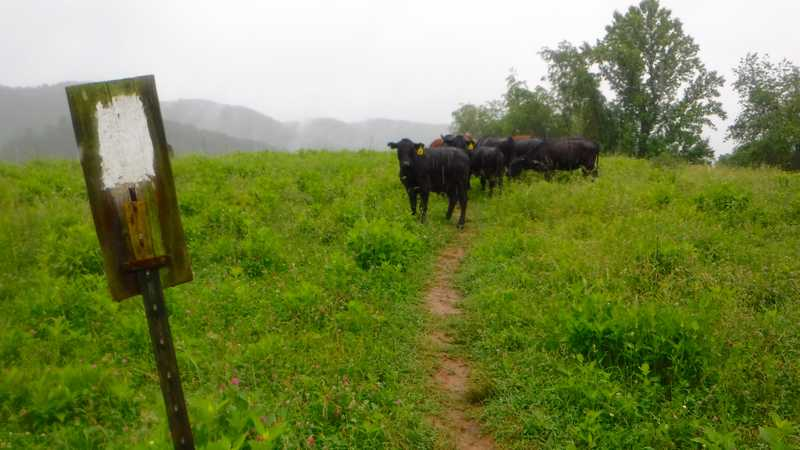 Cows blocking the trail
