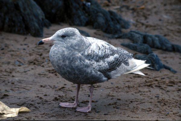An immature Glaucous Gull
