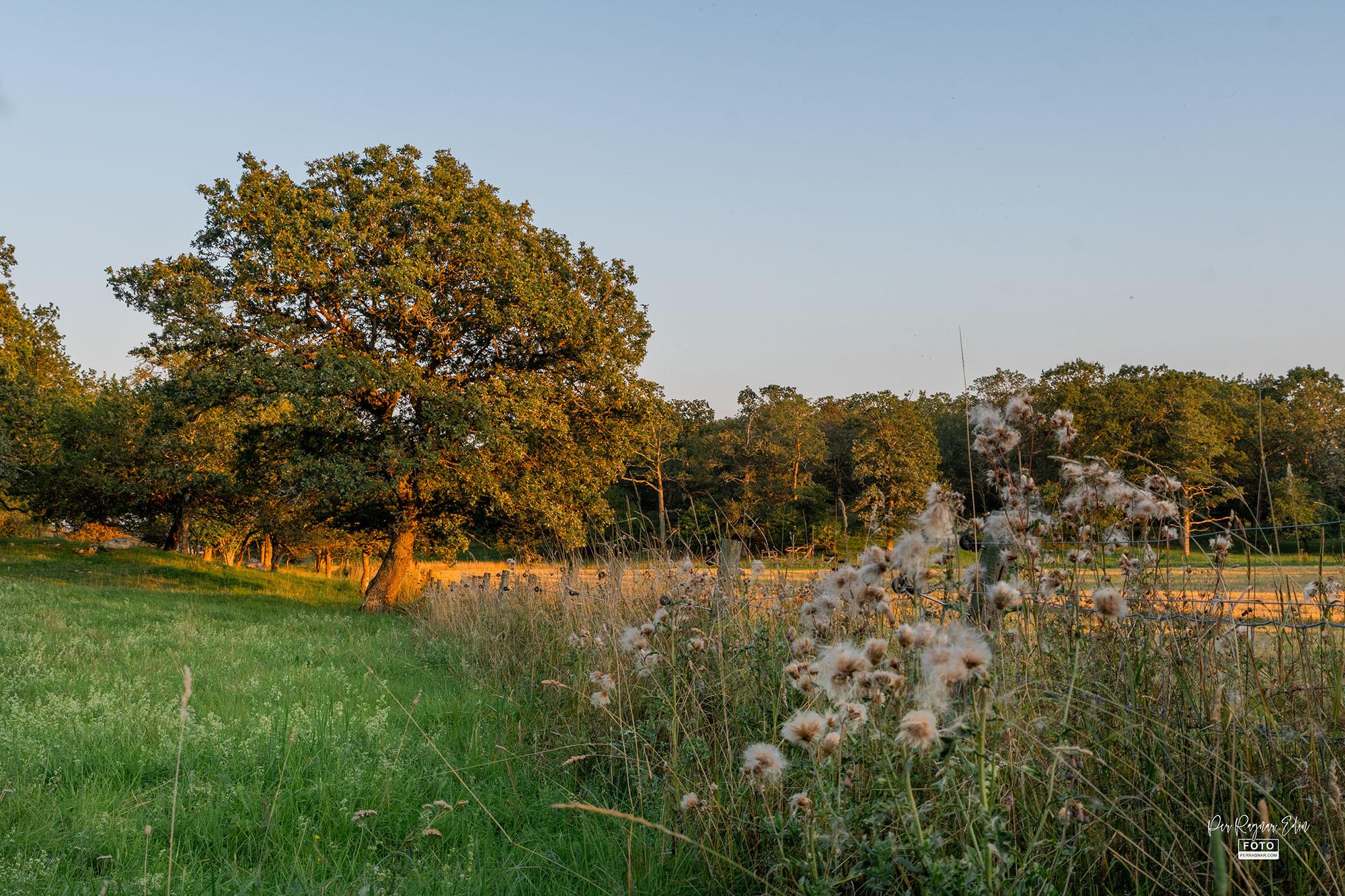 Eken i hagen på sensommaren