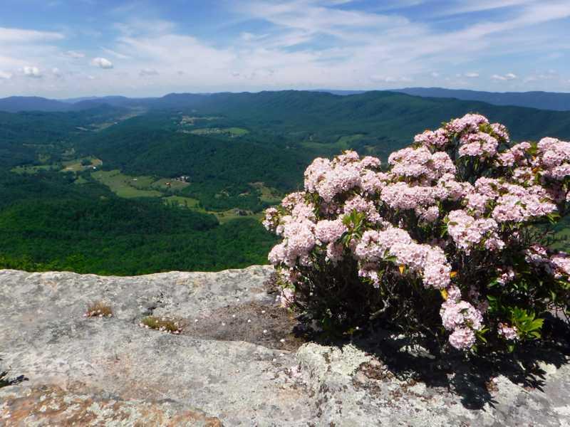 Mountain laurel at Tinker Cliffs